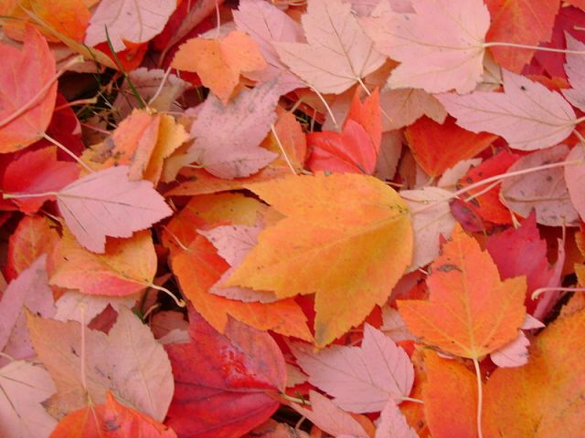 800px-Fall_Leaves